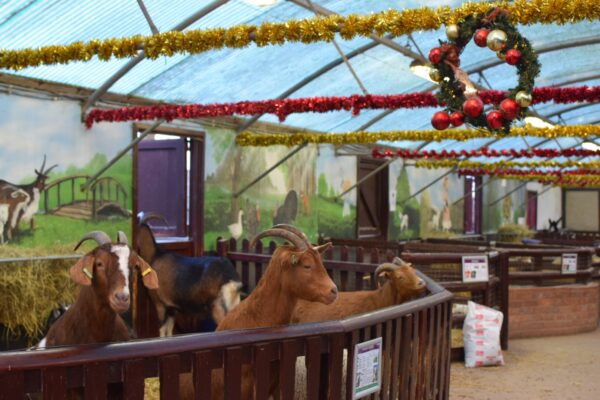 goats at Hatton Country World
